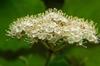 viburnum acerifolium
