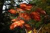 Viburnum alnifolium