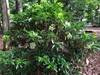 Viburnum awabuki 'Chindo'