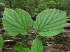 Viburnum bracteatum