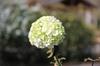Viburnum macrocephalum