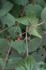 Viburnum carlesii Fruit and Leaf