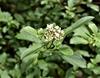 Viburnum foetidum
