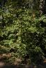 Viburnum macrocephalum f. keteleeri Form