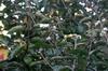 Viburnum macrocephalum f. keteleeri Flower and Leaf