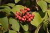 Viburnum macrocephalum f. keteleeri Fruit and Leaf
