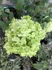 Green flower cluster