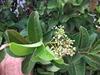 Leaf and flower bud