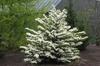Viburnum plicatum f. tomentosum Form