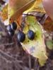 Viburnum rufidulum's fruit