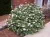 Viburnum utile Flower Form