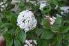 Viburnum x burkwoodii 'Mohawk' Flower and Leaf