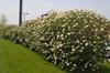 Viburnum x rhytidophylloides Flower and Form