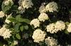 Viburnum x rhytidophylloides Flower and Leaf