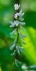 Vicia caroliniana