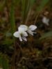 Viola lanceolata