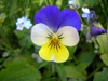 Viola tricolor flower.