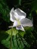 Viola cucullata Flower