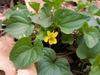 Viola pennsylvanica