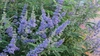 Vitex agnus-castus 'Abbeville Blue' Flower