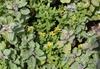Vitex trifolia subsp. litoralis