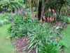 Watsonia 'Mount Congreve'