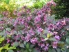 Weigela florida 'Folliis Purpurels' Flower