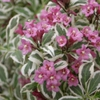 Weigela Florida 'Sunset'