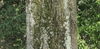 Bark of Willow Oak