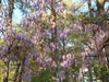Wisteria spp. flowering vines in trees
