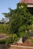 Wisteria frutescens 'Amethyst Falls' Form