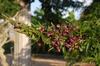 Wisteria frutescens 'Amethyst Falls' Flower