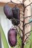 Yucca aloifolia fruit