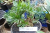 Zamia integrifolia`