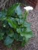 Zantedeschia - individual plant