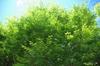 Zelkova schneideriana foliage