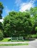 Zelkova schneideriana tree