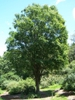 Zelkova serrata form