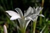 Zephyranthes atamasca Atamasca Lily