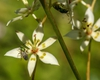 Zigadenus glaberrimus
