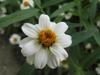 Zinnia angustifolia 'Pette Land White'
