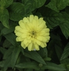 Zinnia angustifolia Canary Bird leaves in lower part of picture