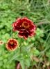 Zinnia haageana 'Aztec Burgundy Bicolor'