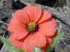 Zinnia peruviana