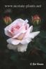 Rosa 'AUScot'