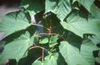 Acer tegmentosum leaves
