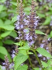 Agastache 'Astello Indigo' flowers
