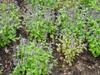 Agastache 'Astello Indigo' mass planting
