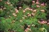 Albizia kalkora flowers, pink