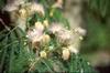 Albizia kalkora flowers, white